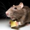 Боротьба з мишами в приватному будинку за допомогою народних засобів