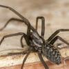 Чорний павук, якого можна зустріти в будинку