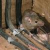 Позбавляємося від щурів живуть в підвалі
