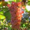 Календар виноградаря
