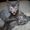 Кішки-перевертні