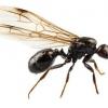 Летючі мурахи з`явилися в будинку