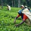Міжнародна класифікація чаю