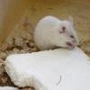 Чи можуть миші є пінопласт.