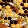 Нервова система бджіл