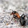 Про лісових мурах в будинку