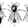 Бджолосім`ї