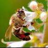 Їжа бджіл