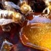 Підживлення бджіл цукром і варроатоз