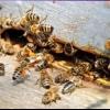 Робота бджіл у вулику