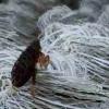 Різновид паразита - блохи килимові