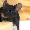 Способи боротьби з мишами в приватному будинку