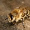 Способи боротьби з сусідськими бджолами