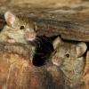 Способи позбутися мишей в квартирі