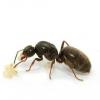 Способи позбавлення від чорних мурах в будинку