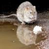 Види отрут від щурів